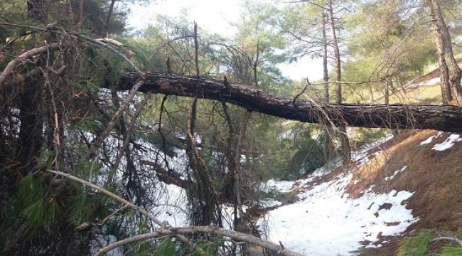 Şiddetli rüzgâr ve beraberindeki kar çam ağaçlarını yerinden söktü..