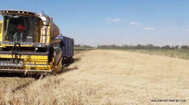 Elbistan' da 10 bin yıllık ata mirası siyez buğdayının hasadı yapıldı